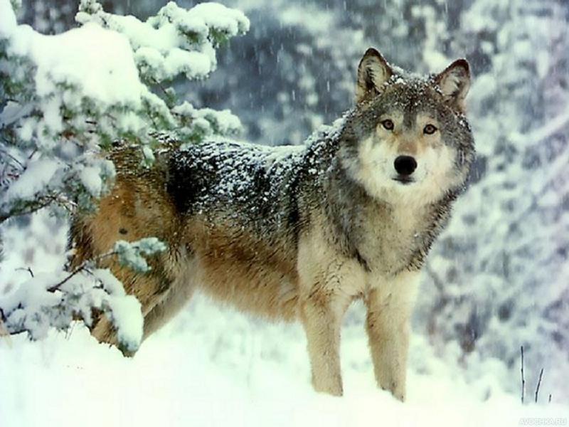 бадяги волк в зимнем лесу фото предлагаем своим клиентам