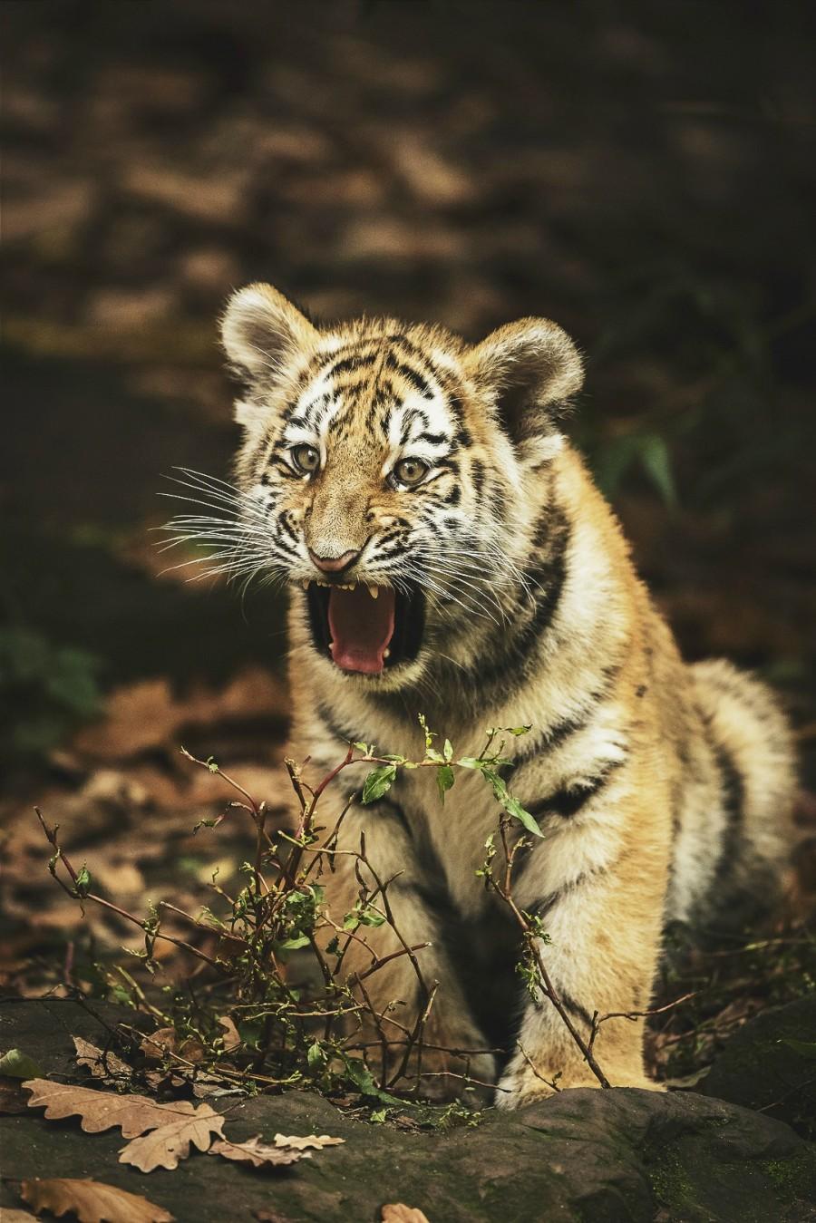 Злые тигрята картинки своей практике